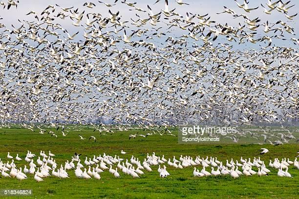 Flock of Snow Goose, California, USA