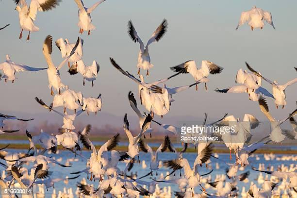 Flock of Snow Goose flying, California, USA