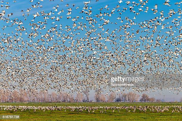 Flock of Snow Goose flying, California, USA