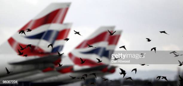 A flock of starlings fly past the tail fins of British Airways planes at Heathrow airport on March 26 2010 in London England Cabin Crew are due to...