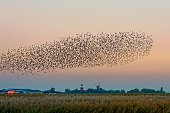 Germany, Lower Saxony, East Frisia, Flock of starlings flying over field