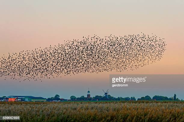 Flock of starlings flying over field, East Frisia, Lower Saxony, Germany
