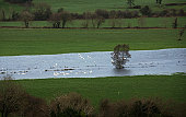 Flock of swans in flooded Lee Valley, County Cork, Ireland