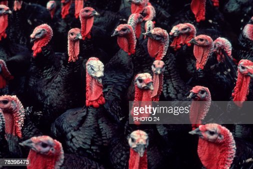 Flock of turkeys : Stock Photo