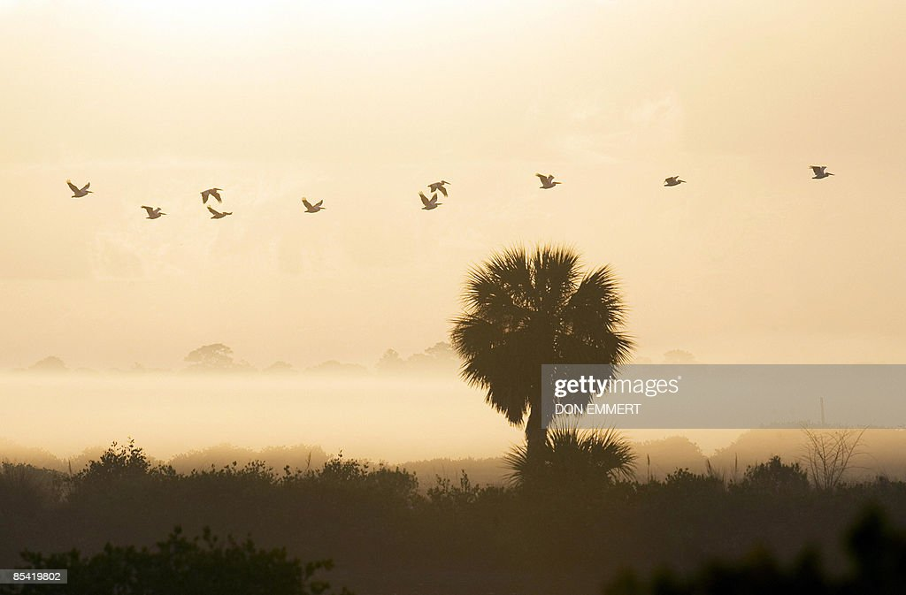 A flock of white pelicans flies through the morning haze at Merritt Island National Wildlife Refuge on March 13 2009 near Titusville Florida The...