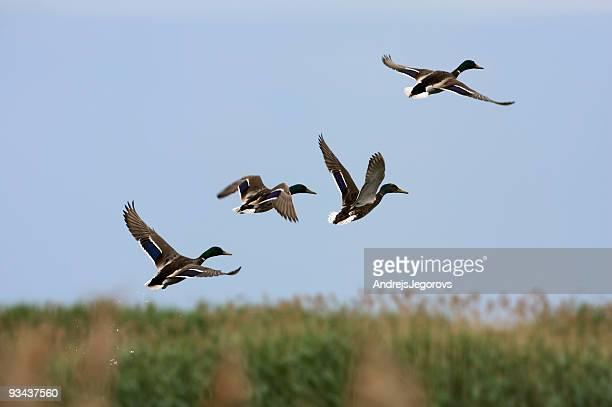 Flock of wild ducks, Flügel, Randu plavas, Lettland
