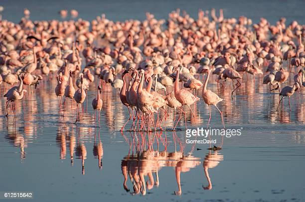 Bandada de Wild flamencos enanos de lago Nakuru