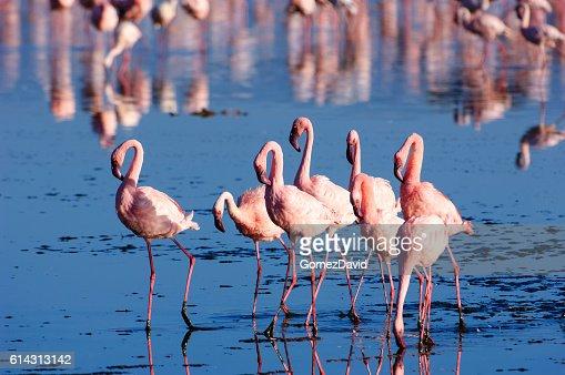 Flock of Wild Lesser Flamingos On Lake Nakuru