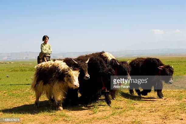 Flock of yaks in desert.