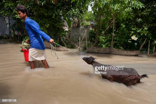 A flood affected men cross flood water with his cattle near a river Padma at Dohar Nawabganj Bangladesh 19 August 2017 According to authorities...