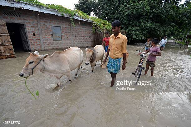 Flood affected villagers move with their cattle to higher places after waters of River Barhmaputra entered their houses at Bhurbandha in Nagaon...