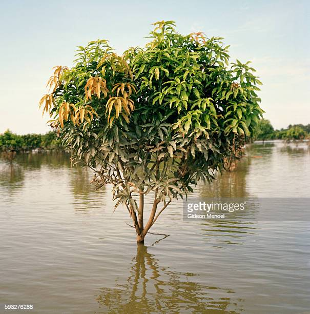 A flooded mango plantation near Vardaha village in the east Champaran district This is in the province of Bihar which was devastated by the worst...