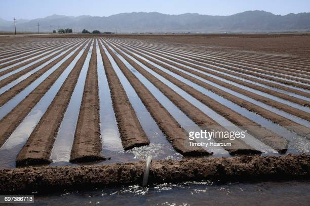 Flooding between raised rows prior to planting