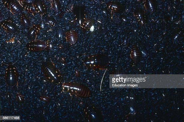Floor of bat cave cockroaches eating bat guano northern Mt range Trinidad 1981