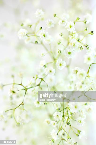 Floral Abstract Baby's Breath