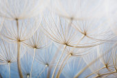 Floral background of dandelion