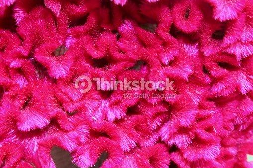 Portrait De Floral Colore Macro Dune Fleur Celosiescape En Rose Ou