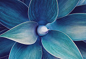 Abstract Ultra Violet agave plant floral pattern Dragon tree, blue fox tail agave Floral green pattern top view