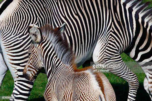 Florence the new baby zebra foal stands with its mother Emily in their enclosure at Edinburgh zoo September 4 2008 in Edinburgh Scotland This latest...