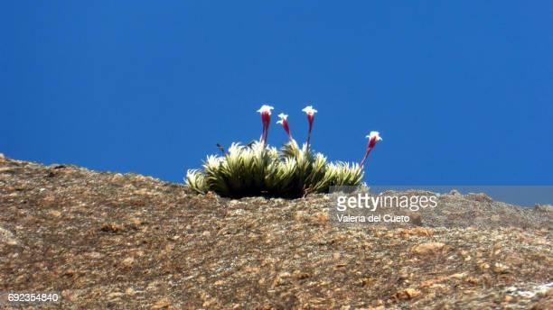 Flores da Pedra do Leme