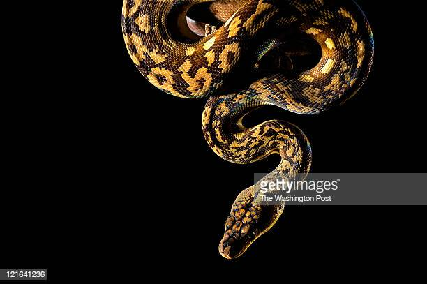 A Flores Island python is seen at the Reptile Discovery Center at the Smithsonian National Zoological Park on Monday July 25 2011 in Washington DC...