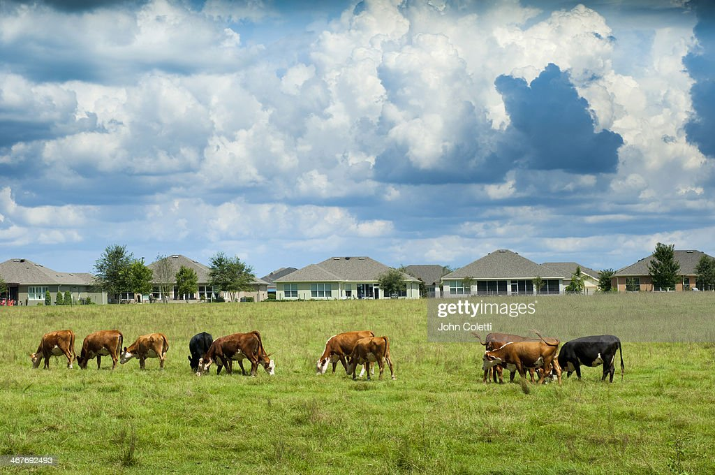 Florida Cattle Ranch : Stock Photo