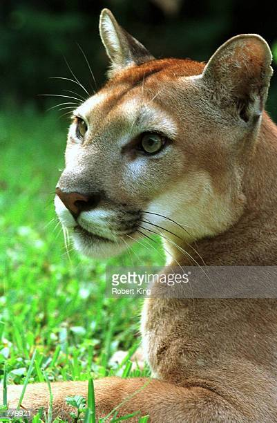 Florida cougar cross breed relaxes at the Southern Florida Rehabilitation Center September 16 2000 in Homestead Florida The Southern Florida Wildlife...