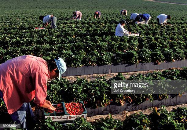 Florida Dover Strawberry Harvesting By Mexican Migrant Workers