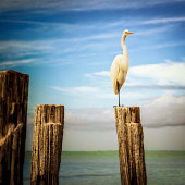 Florida Egret at Fort Myers Beach