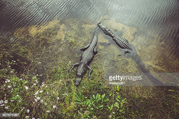 USA, Florida, Everglades, Alligators