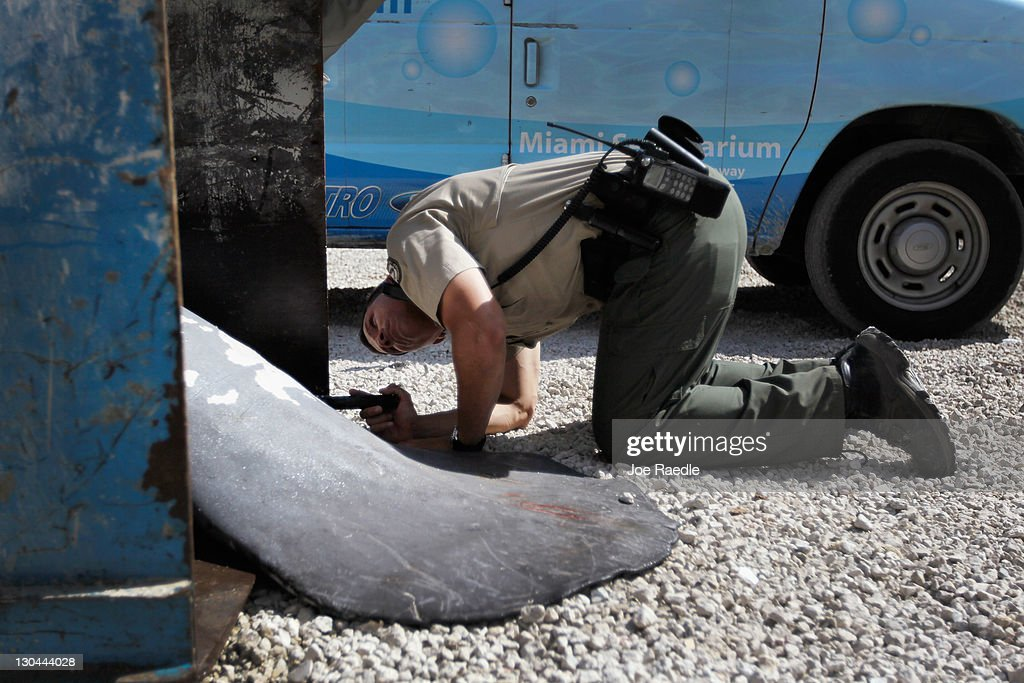 Young male manatees flock to dead manatee calf getty images for Florida fish and wildlife officer