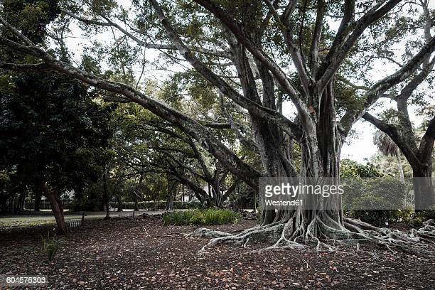 USA, Florida, Fort Myers, Indian banyan