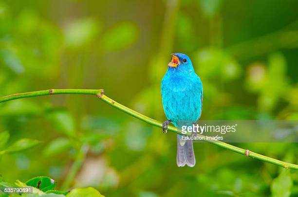 Florida Immokalee Indigo Bunting perched on a branch singing