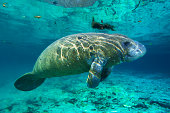 Florida manatee floating in water