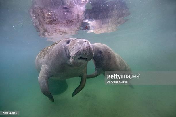 Florida Manatee - Mom & Calf