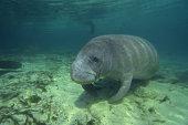 Florida manatee on ocean floor