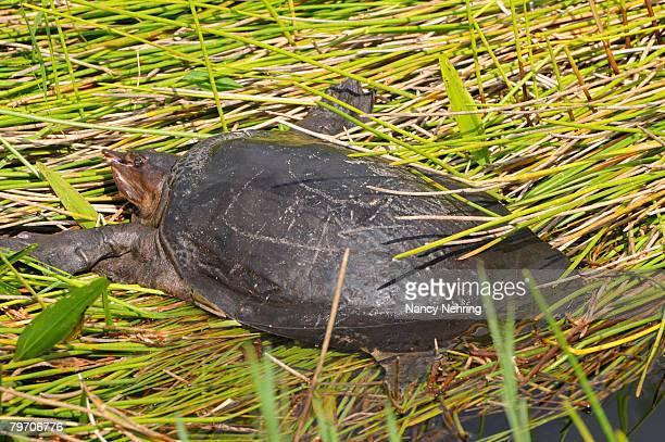 Florida softshell turtle, Apalone ferox, sunning itself on a creek bank. Everglades National Park, Florida, USA. UNESCO World Heritage Site (Biosphere Reserve).