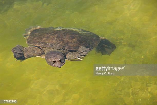 Florida Softshell Turtle in grünem Wasser,