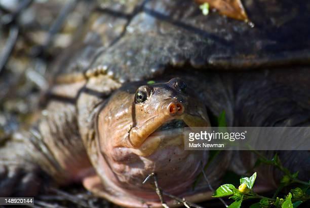 Florida Softshell Turtle (Trionyx ferox).
