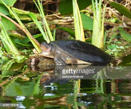 Florida Softshell Turtle (Apalone ferox) : Stock Photo
