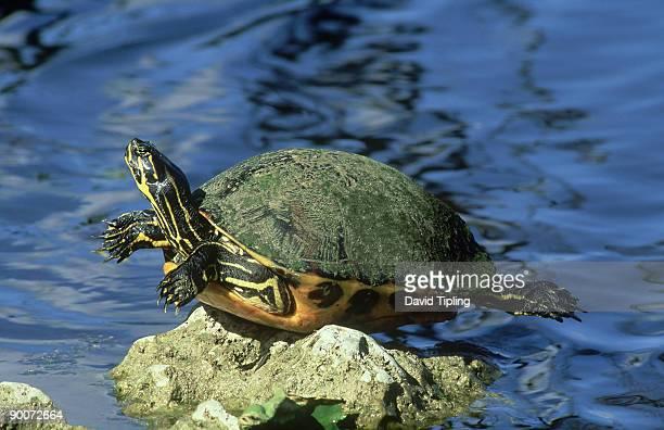 florida softshell turtle: trionyx ferox  everglades n.p  flo rida, usa