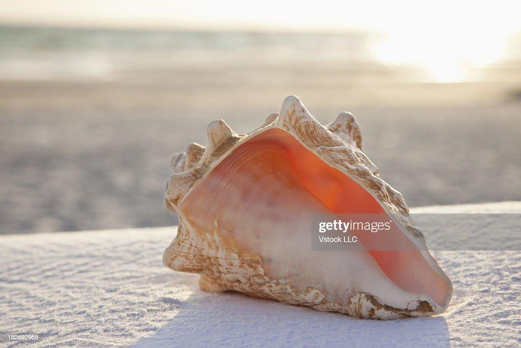 USA, Florida, St. Petersburg, conch shell on sandy beach : Stock Photo