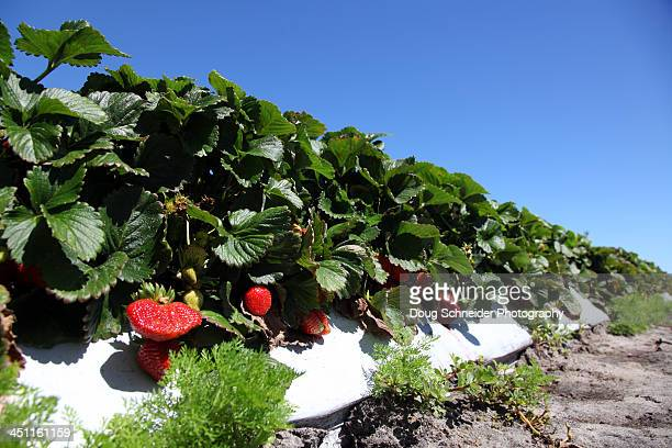 Florida Strawberries