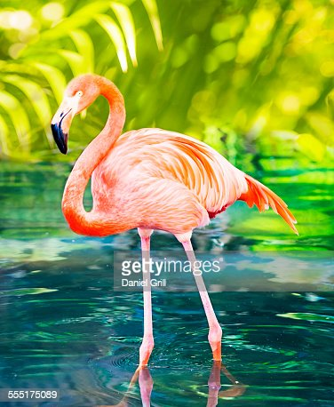 USA, Florida, West Palm Beach, Flamingo wading in water