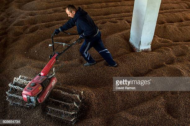 Florin Dolcan works drying 'chufas' at the Gines SA dryer warehouse on January 18 2016 in Valencia Spain According to the Valencia's Tiger Nut...