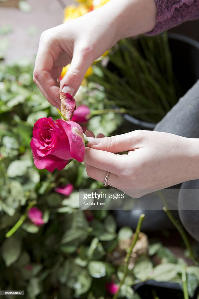 Florist taking damaged petals off a rose : Stock Photo