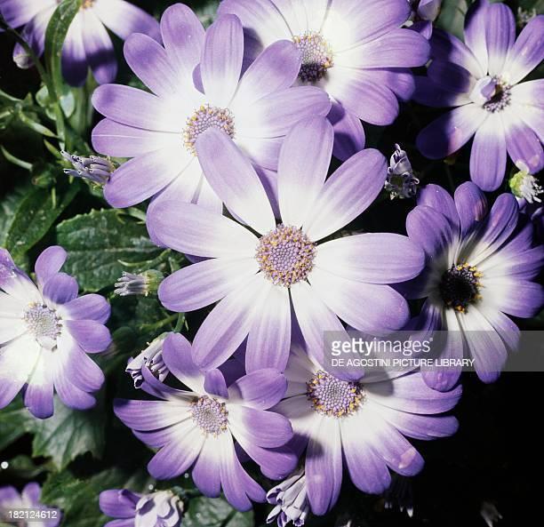 Florist's cineraria Asteraceae