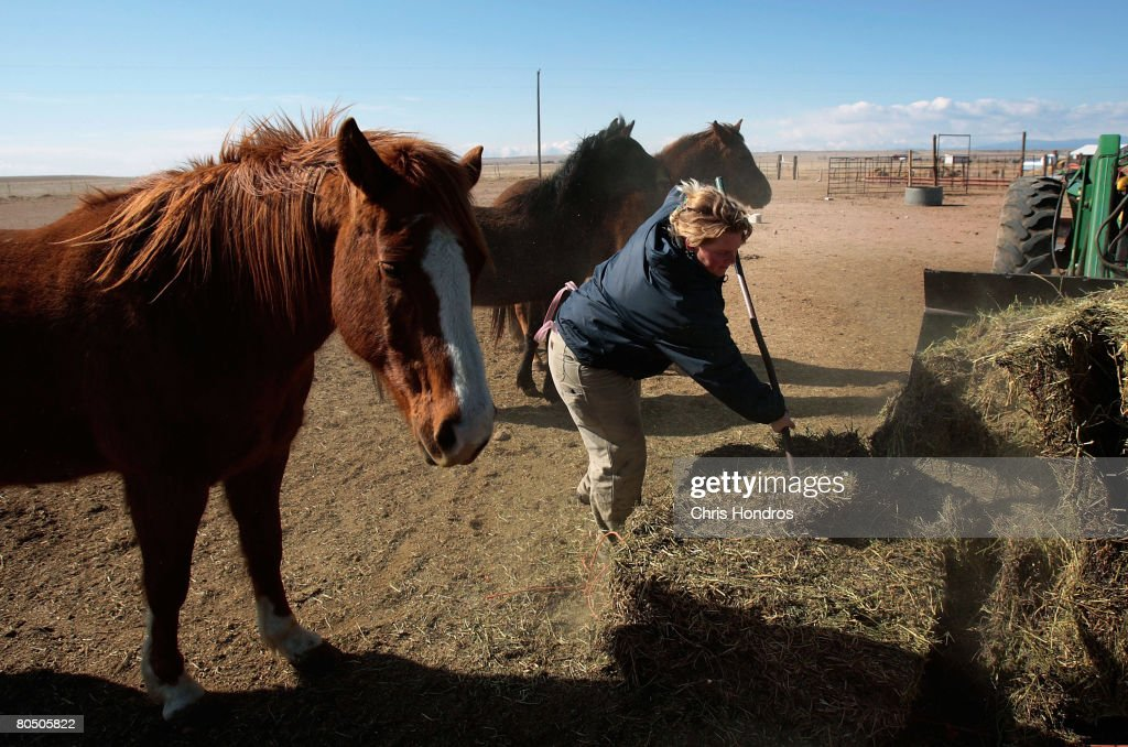 Floss Blackburn, founder of Denkai Animal Sanctuary, distributes hay to some of the horses she cares for at her animal refuge April 3, 2008 in Carr, Colorado. Blackburn has hundreds of animals at her refuge--ranging from dogs and cats and mules and horses to turkeys and sheep--that she takes in when owners can no longer can care for them. The pace of animal rescue has skyrocketed the past year, especially for horses, as people from Colorado who have lost their properties in the national housing crisis abandon them when they move out. 'Animals are always the last priority when times get tough,' Blackburn says. She's taken in 30 abandoned horses in the last year alone, saving them from euthnation or slaughterhouses.