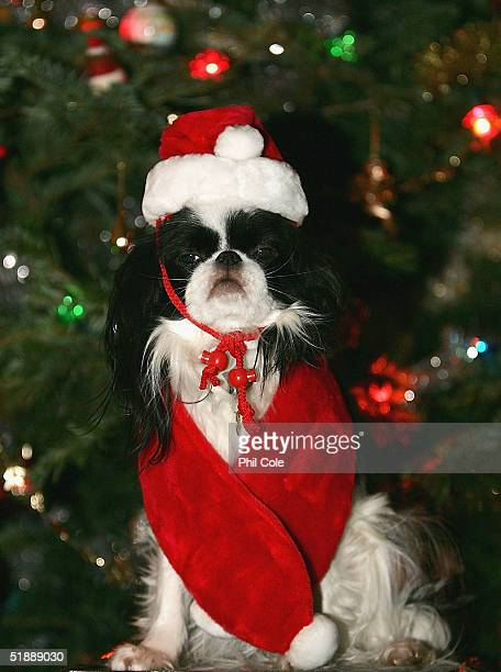 Flossy the cavalier poses by the christmas tree wearing a miniature father christmas costume December 22 2004 in Surrey England Animal lovers will...