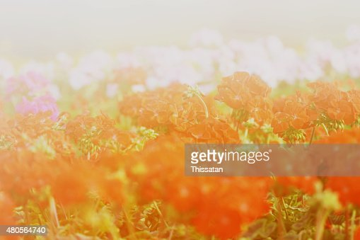flower background. beautiful flowers made with color filters : Stock Photo